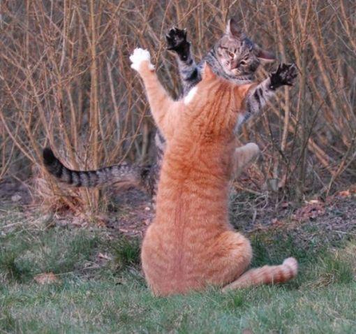 tarung kucing berkelahi