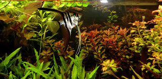 Pterophyllum scalares snacking on cat fish pellets