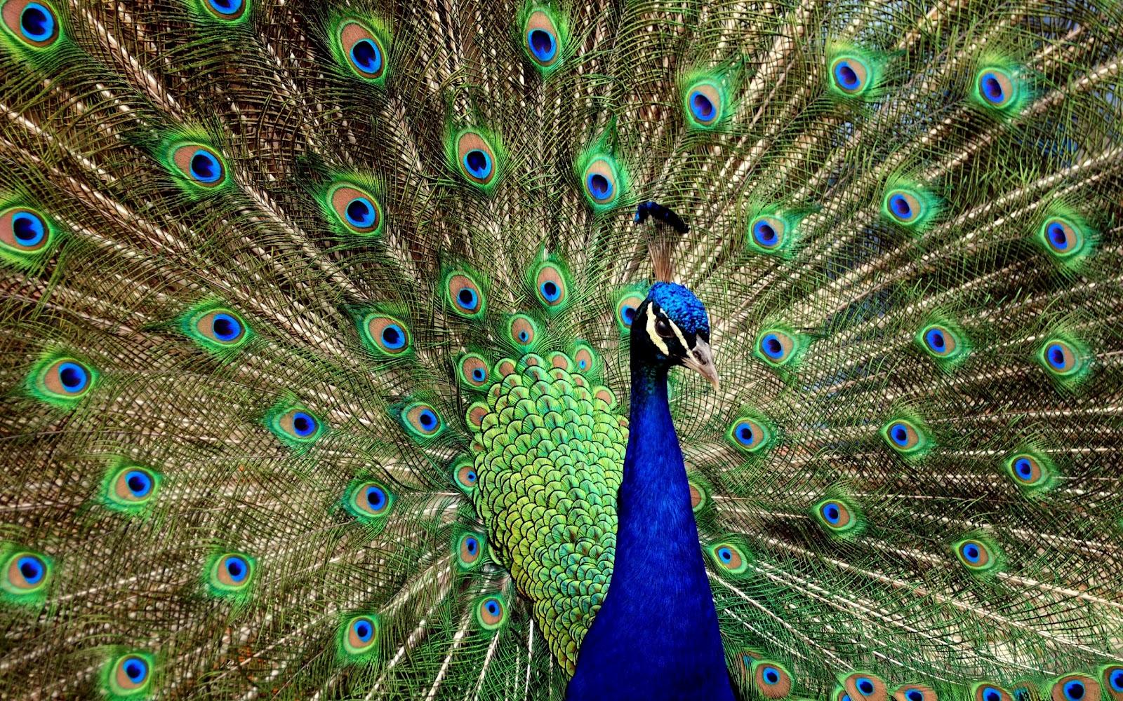 Beautiful peacock wallpaper house - Beautiful peacock feather ...