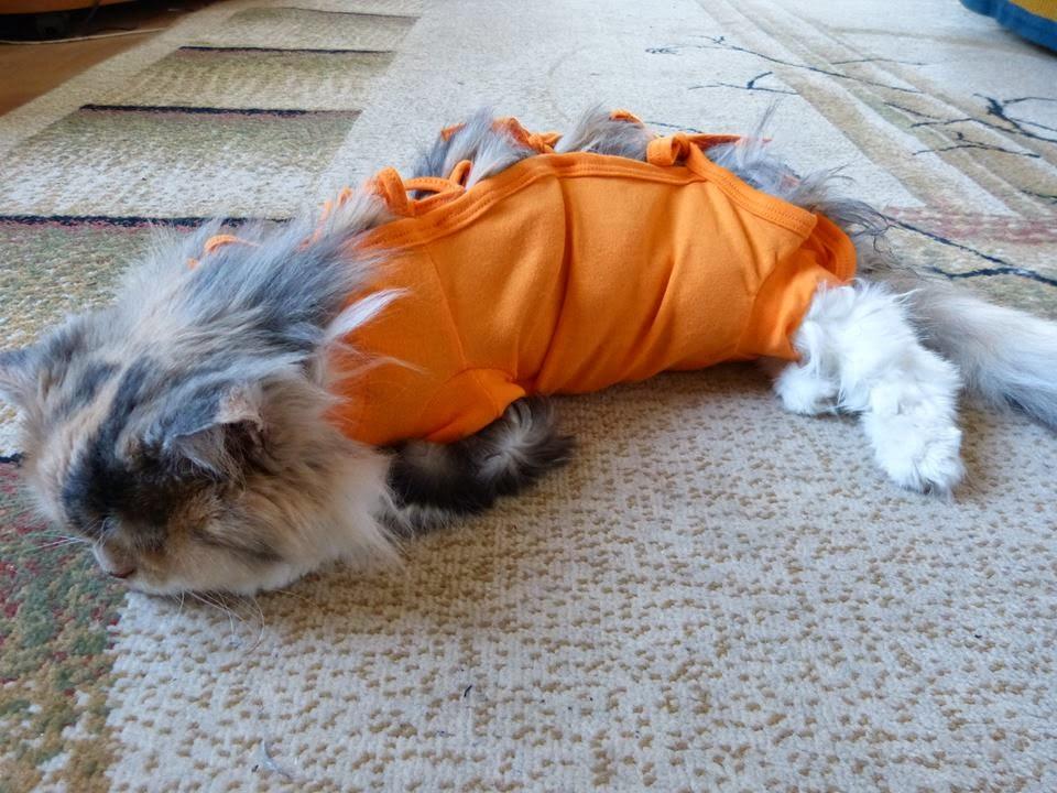sterylizacja kota, ropomacicze u kotki