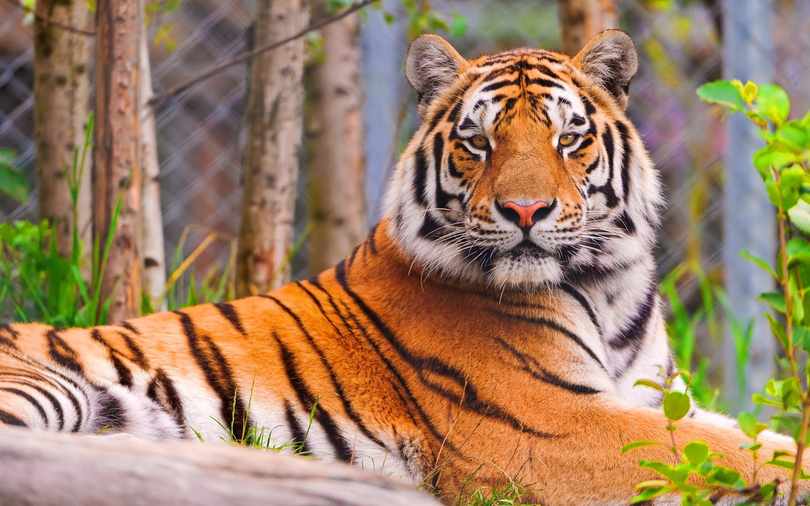 Tiger hd wallpapers beautiful desktop wallpapers 2014 - Tiger hd wallpaper for pc ...