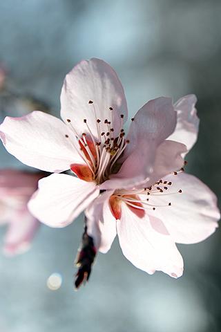 Sakura - Flor de cerezo - Solo Nuevas
