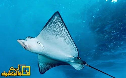 مزحة مع سمكة راي اللادغة يتحول لمطاردة مخيفة