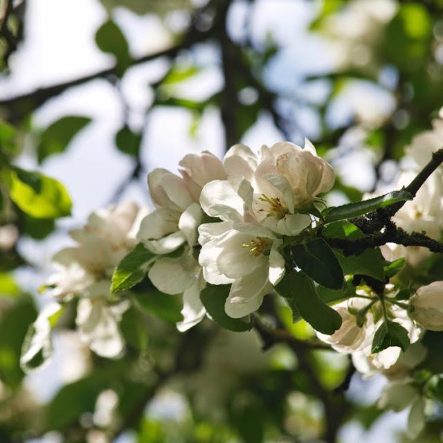 Blomstrende æbletræer i haven