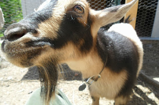 Nigerian Dwarf Goat at Arlington Acres in Pittsburgh, Pennsylvania