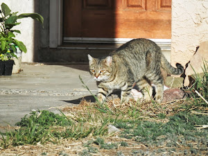 Mamacita (barn cat)