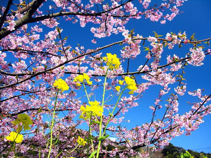Hình ảnh đẹp về Hoa anh dào (Nhật bổn)! - http://namkna.blogspot.com/