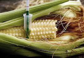 Los científicos rusos advierten del gran peligro del maíz transgénico asociado a un 'coronavirus'