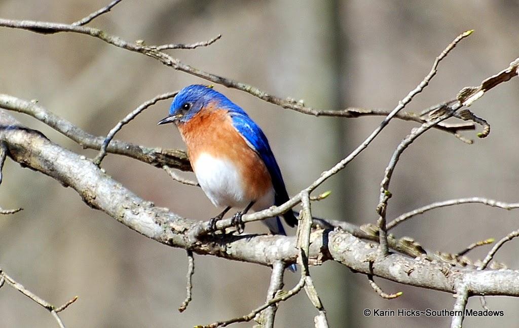 bluebird (male)