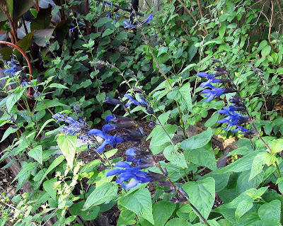 Annieinaustin,salvias guaranitica and Black & Blue