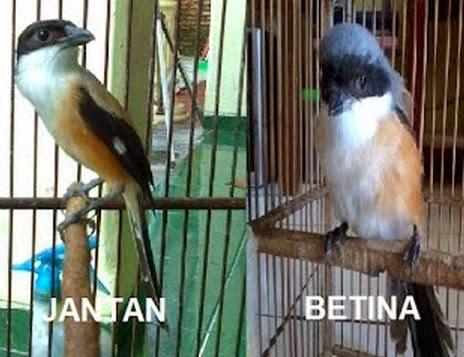 perbedaan burung pentet jantan dan betina