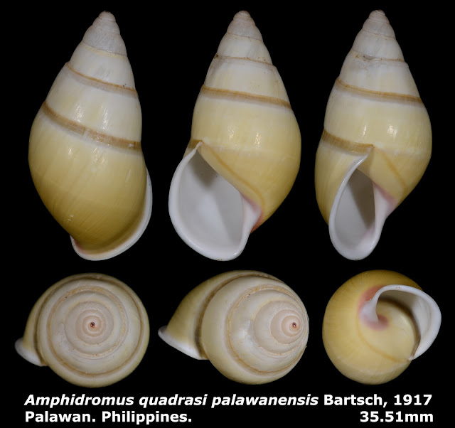 Amphidromus quadrasi palawanensis 35.51mm