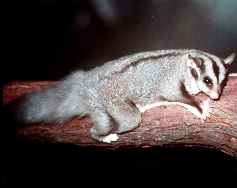 Australian endangered animal