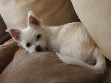 Malchi Chihuahua