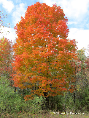 Maple Tree turning red for Fall from Setting for Four