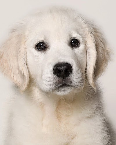 White Retriever