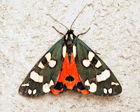 Latest New Macro Moth Species - Scarlet Tiger