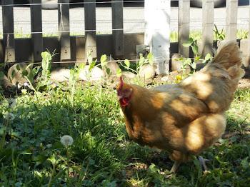 The happy hens