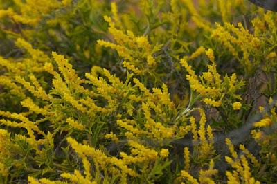 Synaphea spinulosa subsp borealis