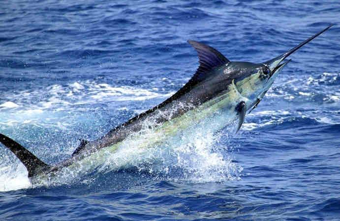 Striped Marlin Hewan Yang Cepat