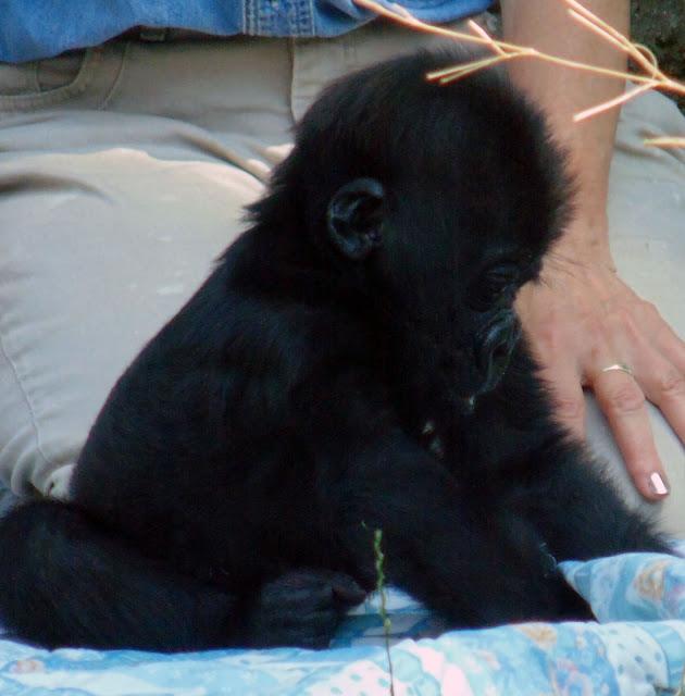 Baby Silverback Gorilla