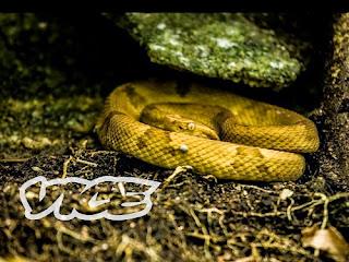 Snake Island - Ilha da Queimada Grande, Brazil