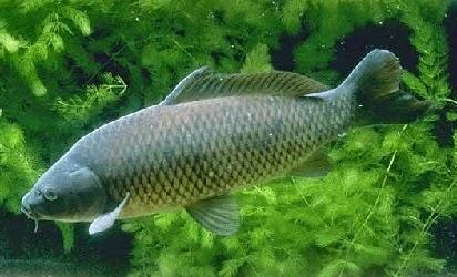 Umpan Ikan Fish Bait,umpan ikan patin,umpan ikan nila,umpan ikan lele,umpan ikan kerapu,umpan ikan bawal,umpan ikan patin liar,umpan ikan gabus,umpan ikan baung,