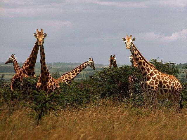 Im genes del mundo animal jirafa for Taxonomia de la jirafa