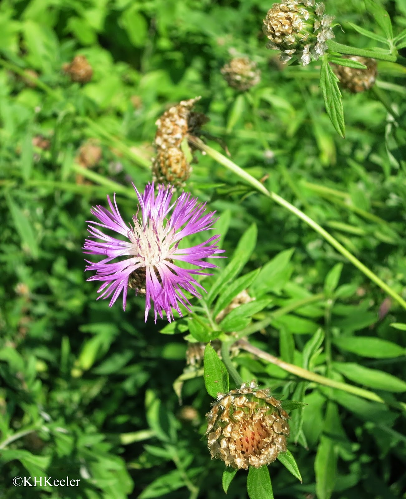 Persian knapweed Centaurea dealbata