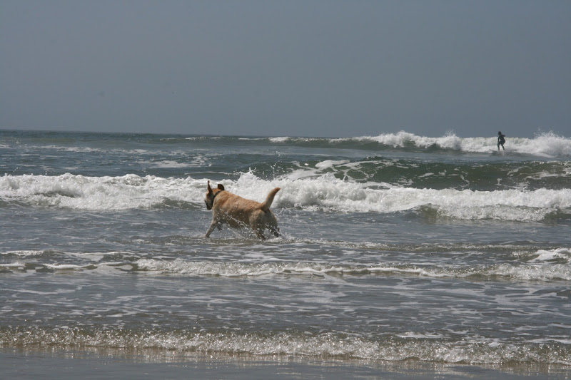 Labrador and surfer Huntington Dog Beach