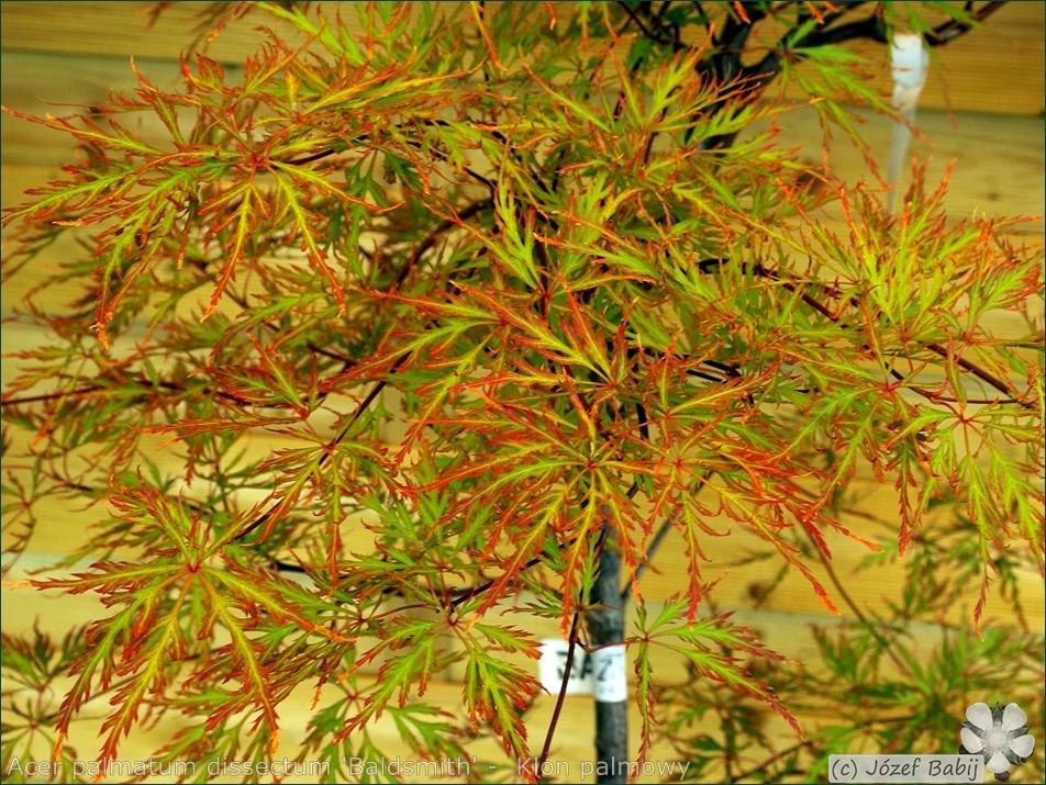 Acer palmatum dissectum 'Baldsmith' -  Klon palmowy 'Baldsmith' liście