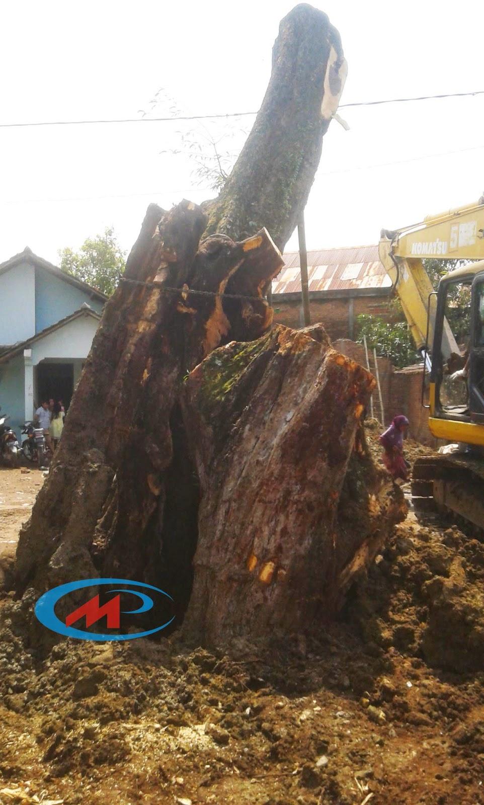 Video Proses Evakuasi dan Mendirikan Pohon Asem Kemis