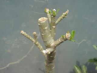 Menggunduli Adenium