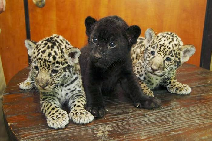 631538 in addition White Lion Cubs Born Emergency Caesarian Serengeti Park Near Hanover also Black Baby Jaguar In Peru likewise Cute Baby Animals 2 furthermore How I Change Spots Mum Jaguar Cub Gives Mother Playful Bite Public Appearance. on newborn jaguar cubs