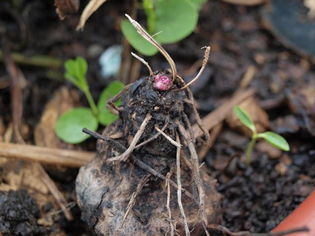 紫色山藥種子與塊莖發芽