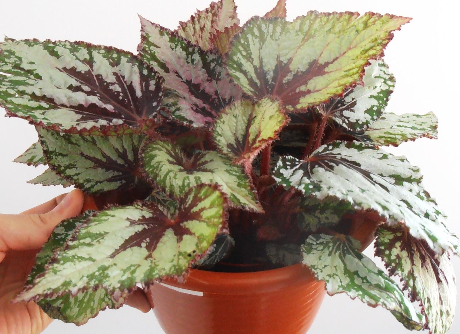 La ventana de javiruli plantas de interior 16 begonia rex for Planta tropical interior