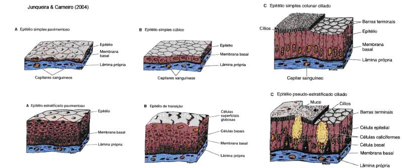 biologia: Tecido Epitelial
