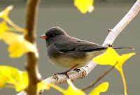 junco bird