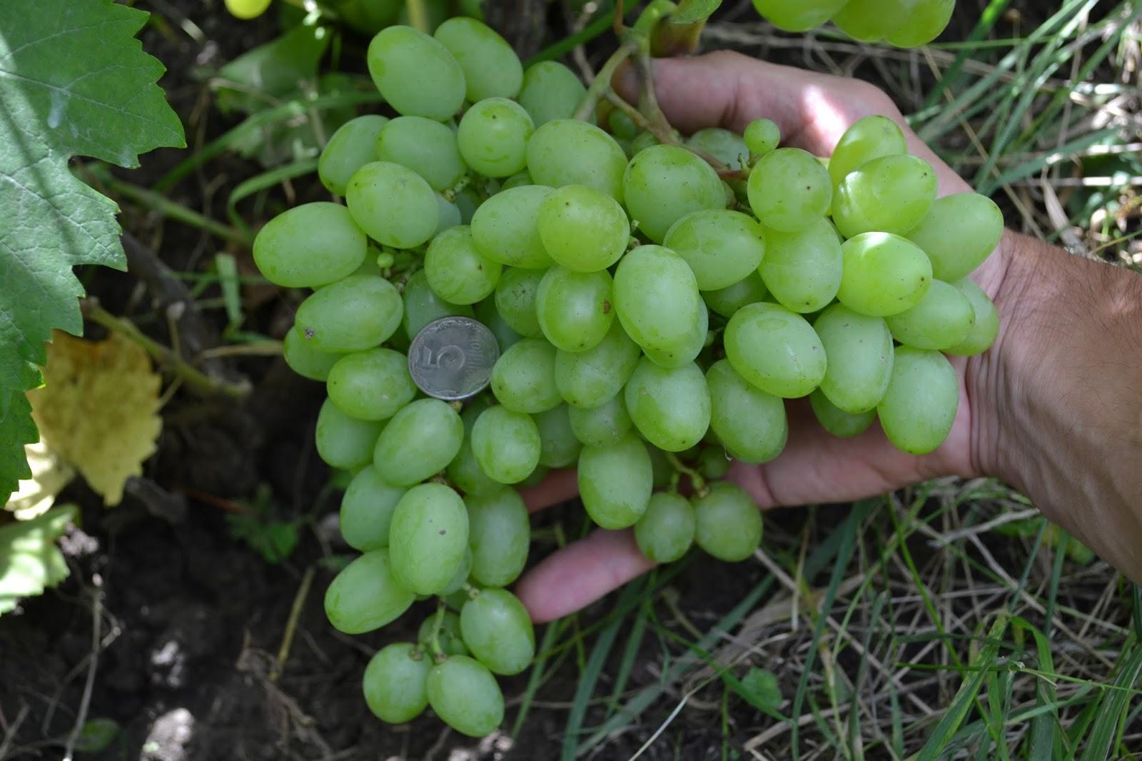 Виноград подарок запорожью описание и фото