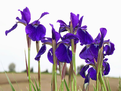 Iris - I call it little French purple