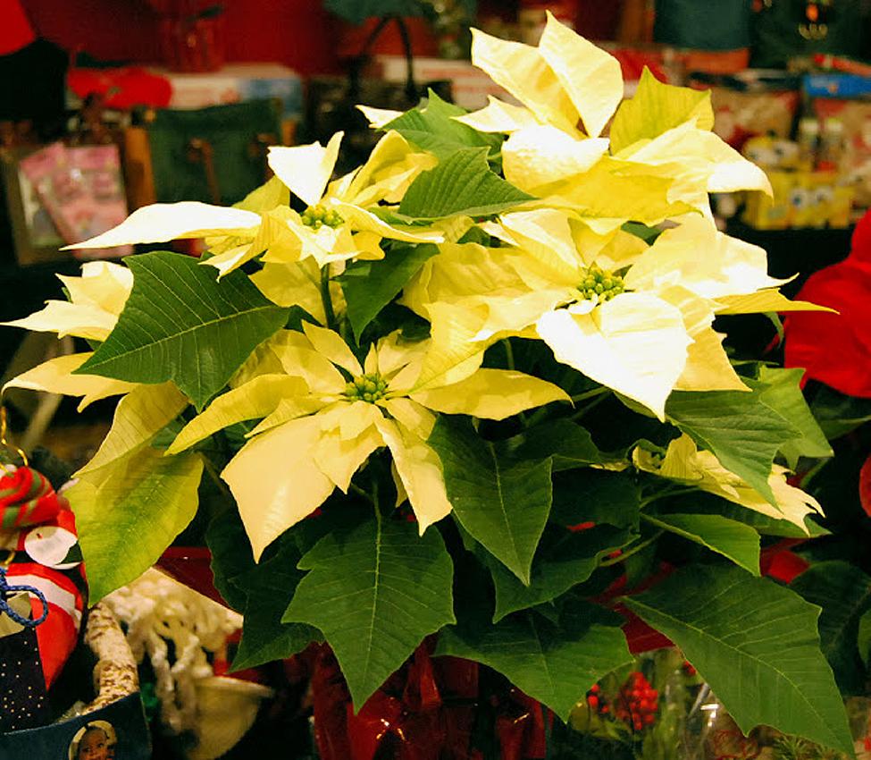 para decorar los hogares, en las fiestas de Navidad, Fin de Año y