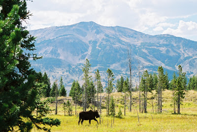 Moose near Heart Lake with Mt. Sheridan in background.  Yellowstone National Park