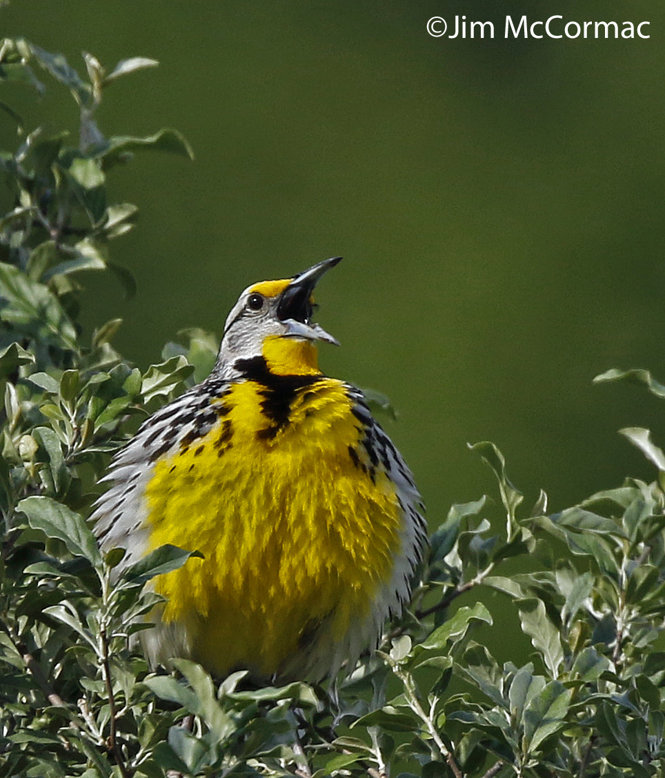 eastern meadowlark calm before the storm ohio birds and