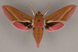 Elephant hawkmoth, Lepidoptera, Sphingidae, Deilephila elpenor
