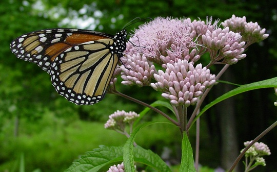 Does everything grow better in my neighbor 39 s yard for Joe pye weed