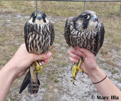 Falco subbuteo & Falco peregrinus