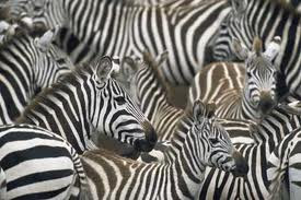 zebra dick