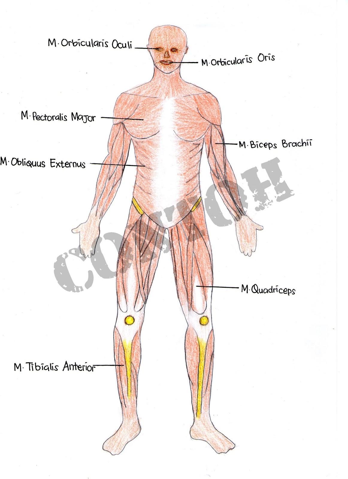 Tugas Gambar Musculo Skeletal PSFK 2013 Prodi Fisioterapi
