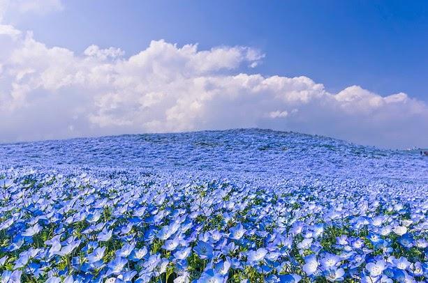 Fascinantes campos azules, no son de otro planeta son de aquí de la Tierra Azules9