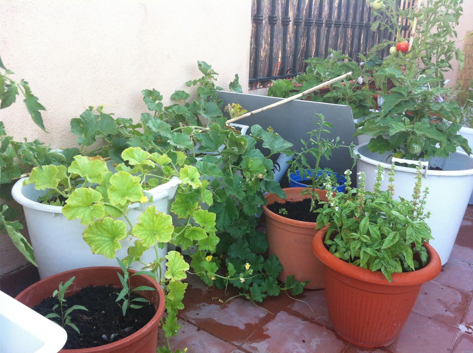 El huerto de macetilla - Tomates cherry en maceta ...
